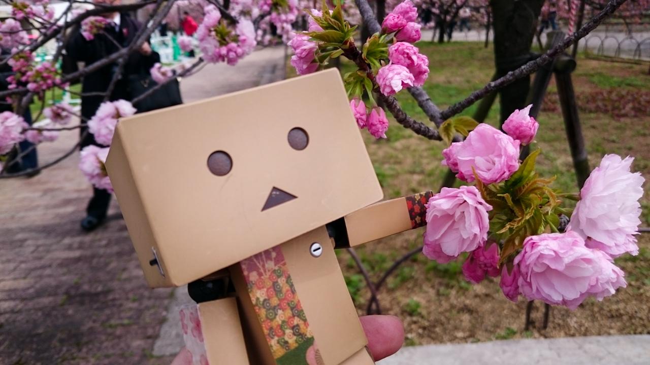 ダンボーと桜