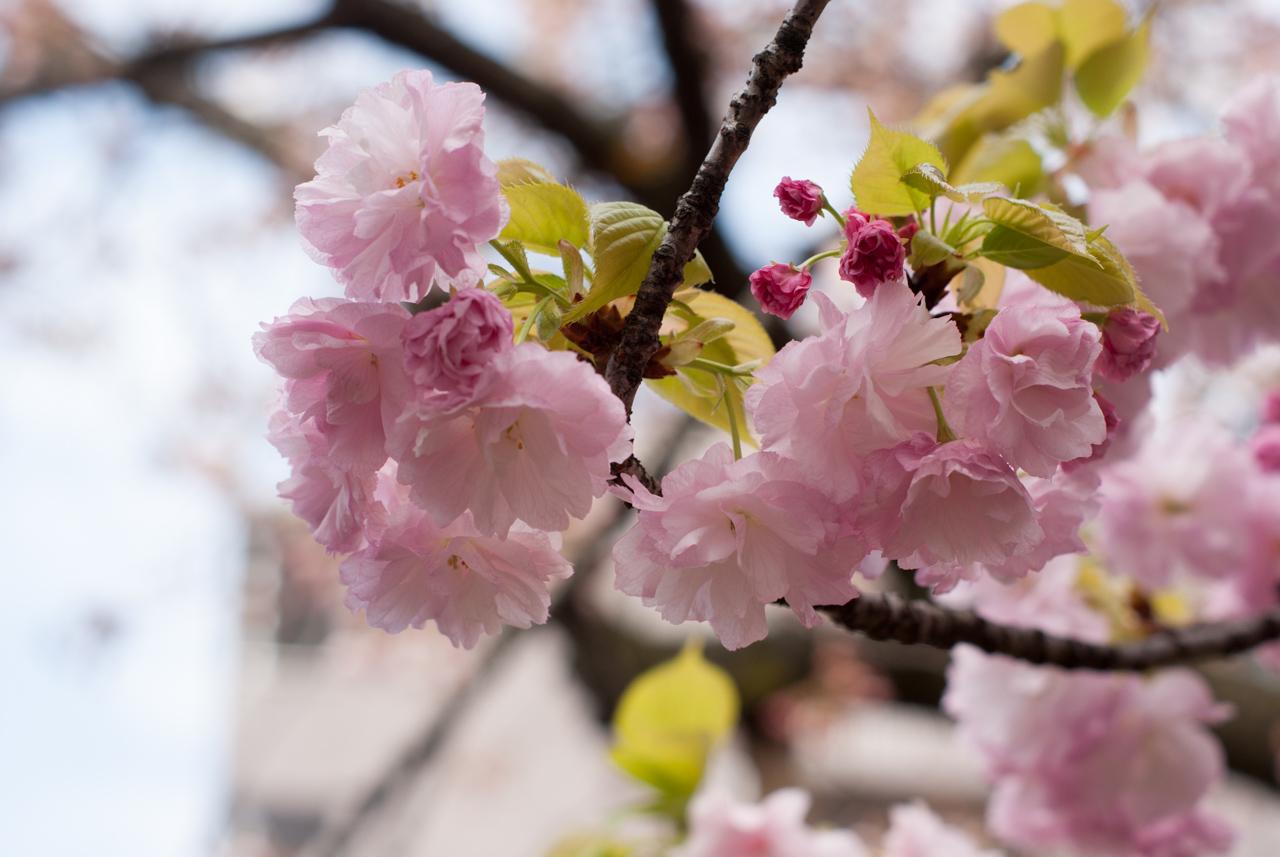 桜宮「造幣局 桜の通り抜け」今年はいいぞっ!