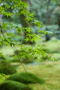 祇王寺の楓