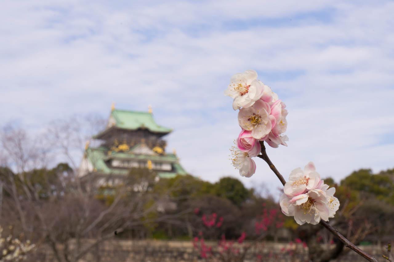 これからが見頃な大阪城梅林はいかが?