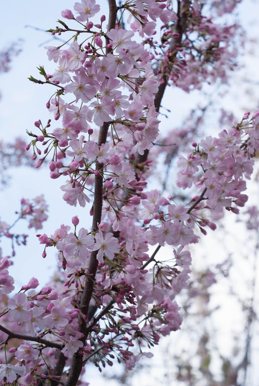 造幣局  桜の通り抜け2017:毎年行っている人には今年は楽しいぞ!